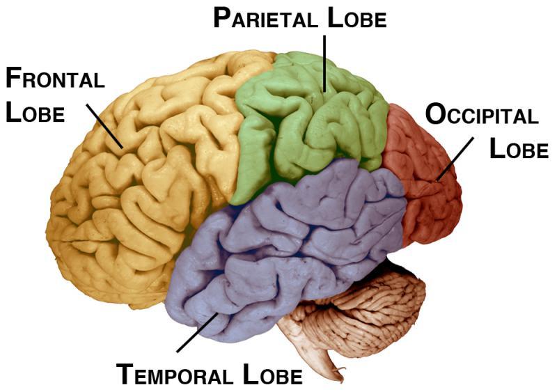 reticular formation diagram labelled of taenia solium brainstem thalamus cerebellum the old brain