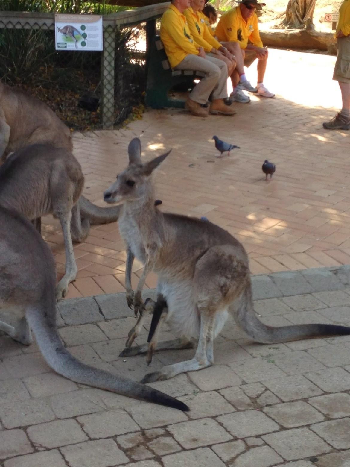 仔細看這隻袋鼠媽媽帶中的小袋鼠,是頭朝袋內鑽進去的,露出2隻後腳在外面晃啊晃的,真淘氣~~