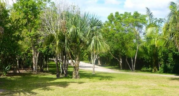 Trees at Chacchoben Mayan Ruins