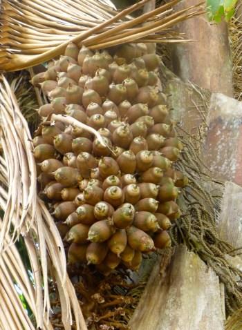 Corozo Cohune Palm Nut