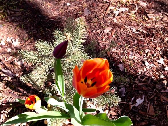 Minnesota Tulip
