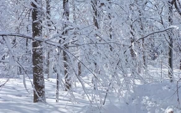 Snow Laden Trees, Minnesota