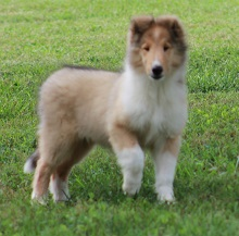 Collie Breeders United States Simply Pets