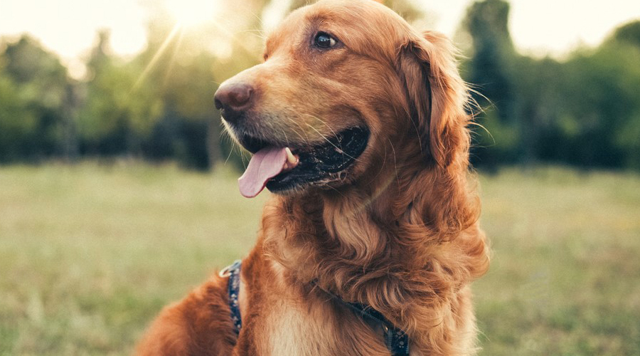 CBD Oil for Dog Seizures and Epilepsy