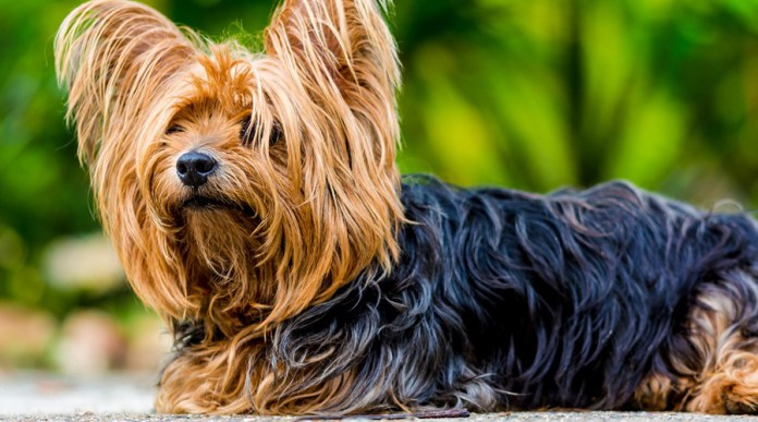 Who is the Yorkshire Terrier