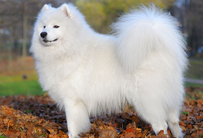 10 Big Fluffy Dog Breeds That Are