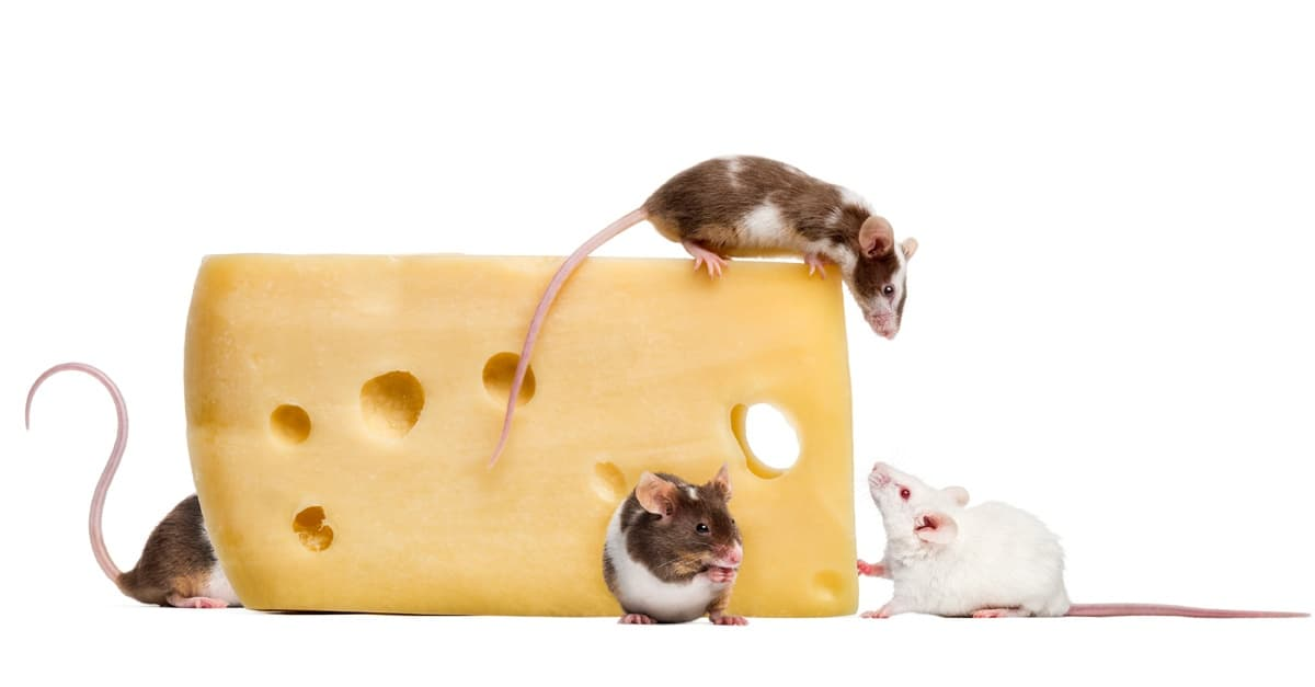Can Rats Eat [CHEESE] Is Cheese Bad for My Pet Rat? [SimplyPets]