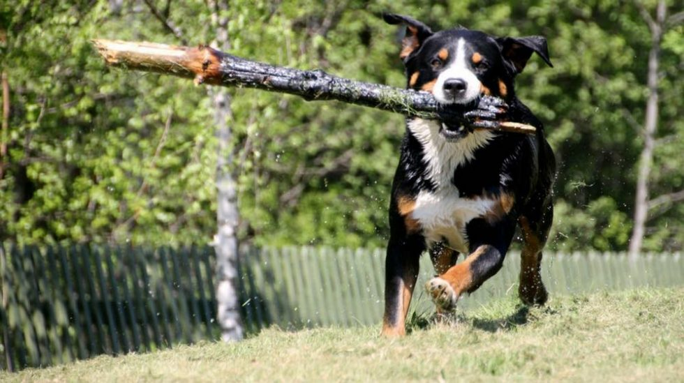 Appenzeller Sennenhunde Dogs And Puppies Guide Dog Breed