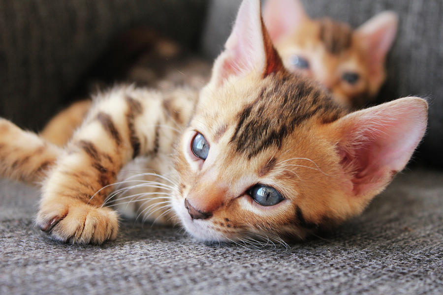 How Much Do Bengal Kittens [COST] Buy Kitten Bengals For
