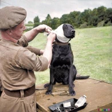 Labradors in Combat.