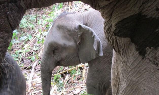 Elefanten – frei im thailändischen Regenwald