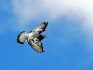 Cómo saben las palomas domésticas volver a casa?