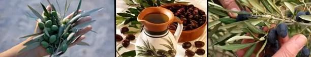 Hojas de olivo: nuevos beneficios para la salud