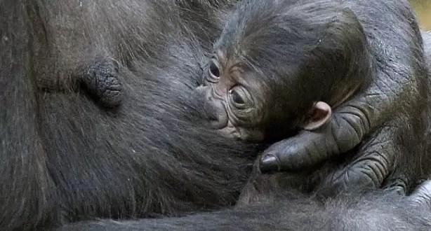 Cómo calman los gorilas a sus bebés