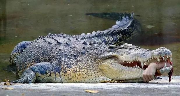 Matan a un cocodrilo para quitarle una mano de la panza