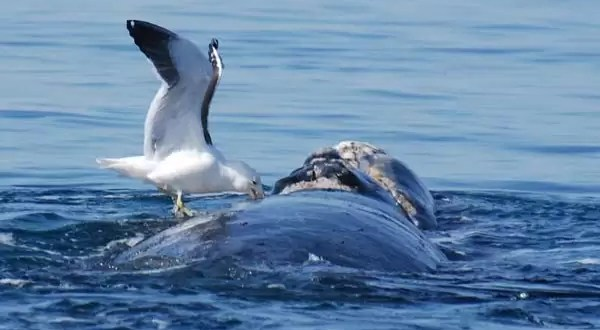 Para proteger a las ballenas matarán gaviotas