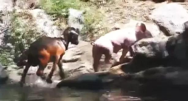 Video: Chanchito valiente salva a una cabra
