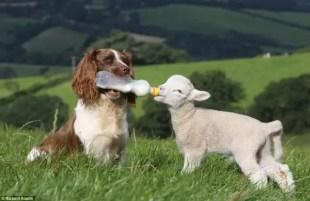 Fotos: Tierna perrita alimenta con mamadera a ovejas