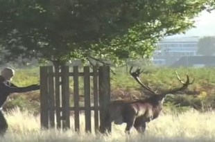 Video: Ciervo persigue a un hombre en Londres