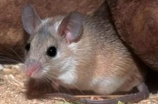Un ratón regenera sus tejidos dañados