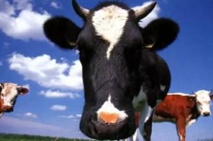 Perdió el iPhone dentro de una vaca mientras la ayudaba a parir