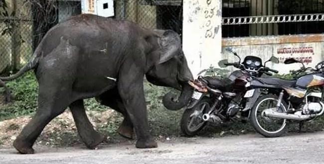 Elefantes borrachos destrozan todo a su paso