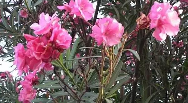 Los riesgos de convivir con el 'laurel de jardín'