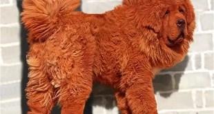 Enterate cuánto cuesta el perro más caro del planeta