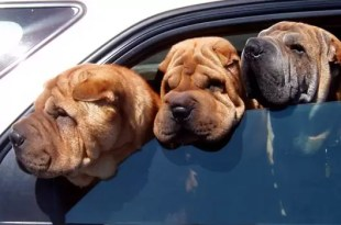 La forma correcta de transportar a tu mascota en el auto