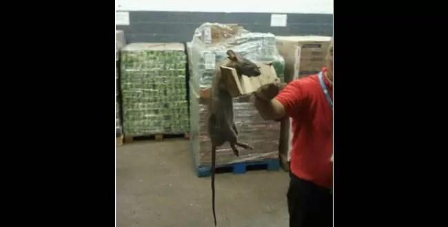 Fotos increíbles: ratas gigantes en un hipermercado