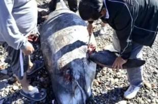 Carnean un delfín que aparece muerto en la playa - Foto
