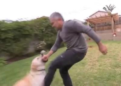 Video: Labrador muerde al 'encantador de perros'