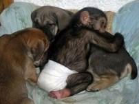Insólito: una perra adoptó a un mono - Fotos