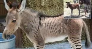 Nace burro-cebra en zoo de Italia