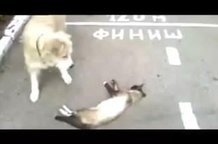 Video: gato finge su muerte para salvar su vida