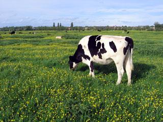 Port Meadow Cow