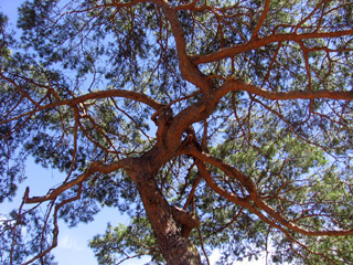 Tree at St. Hugh's College