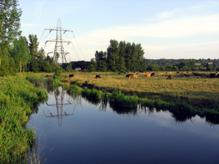 Cows and power lines