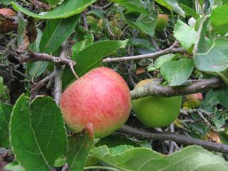 Apple in my back yard