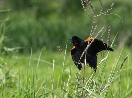 Red-winged Blackbird (Agelaius phoeniceus) - Gatineau, Quebec
