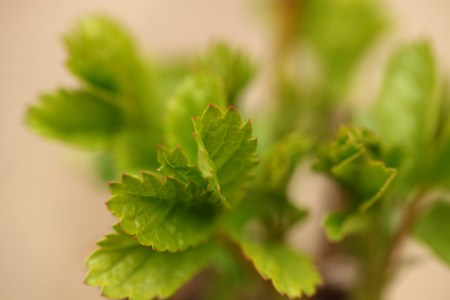 Leaf tips