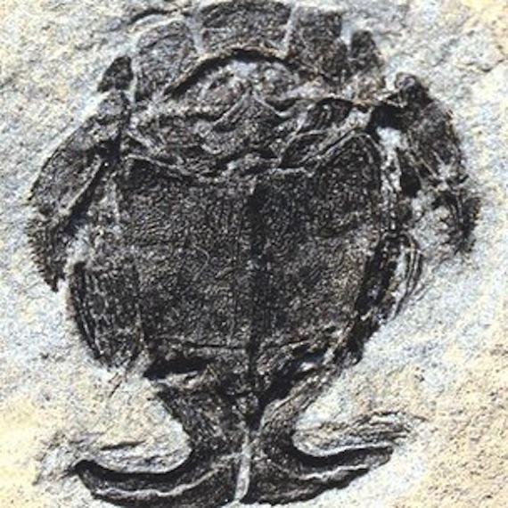 Los restos fósiles de estos placodermos despejaron dudas sobre los primeros encuentros sexuales en el reino animal. Foto: U. Flinders