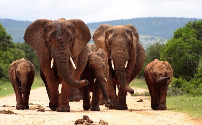 Las manadas acostumbran ser comandadas por la hembra de mayor edad. Foto: Shutterstock.