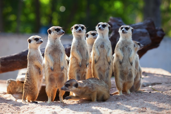Los suricatos son animales excavadores, que viven en grandes redes subterráneas. Foto: Shutterstock.