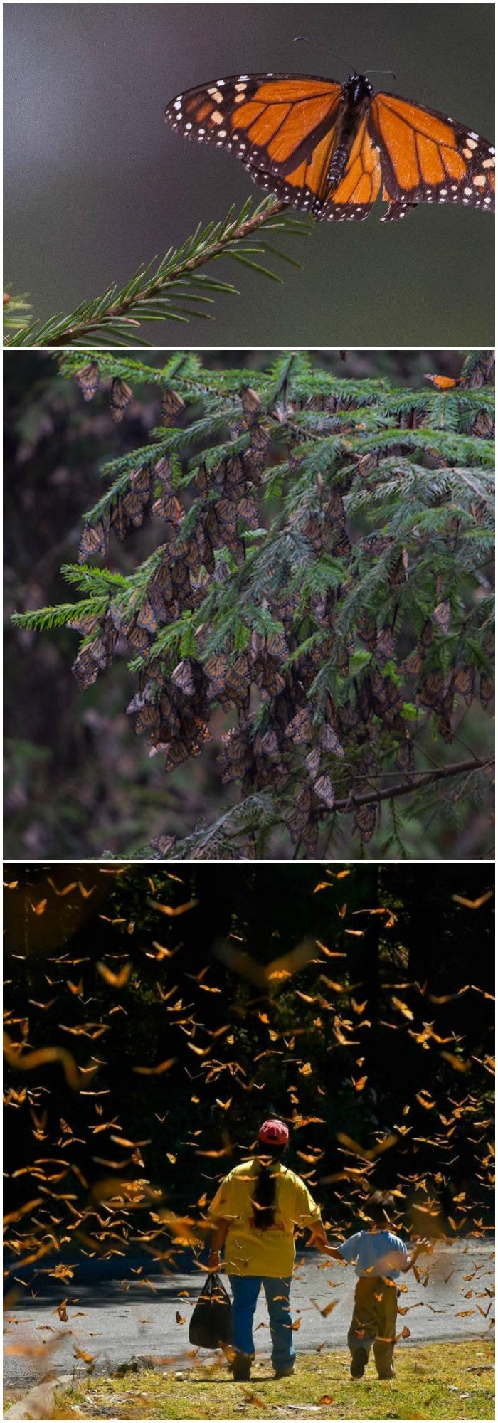 Las monarca arriban a los bosques de oyamel en México cada año, y aunque este año se reportó una posible recuperación en la población de mariposas, muchas se perdieron por una tormenta de nieve en marzo. Fotos: Cuartoscuro