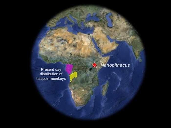 d q71smvuaewxff - Científicos hallan los restos fósiles de un mono que vivió en Kenia hace 4 millones de años