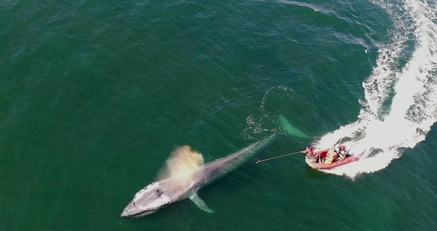 6 6 - Una ballena jorobada queda atrapada en una red y rescatistas la liberan. Ocurrió en zona protegida de BC - #Noticias