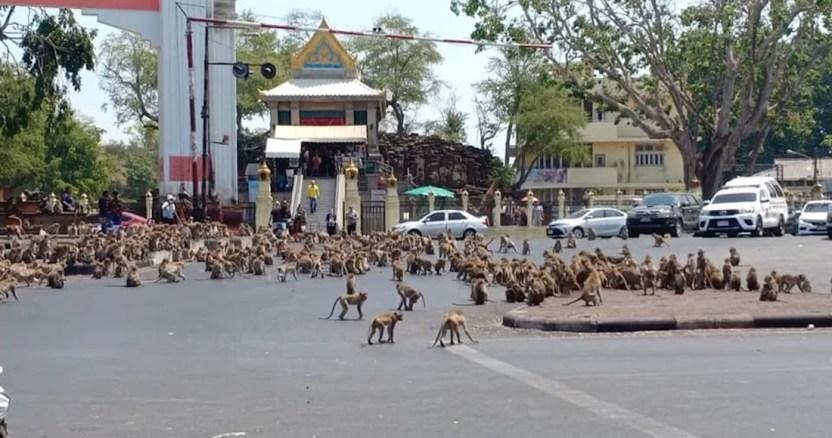 monos tailandia coronavirus - Miles de monos invaden la ciudad de Lopburi en Tailandia, y ponen en riesgo la economía local