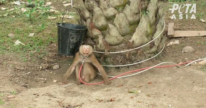 peta - Miles de monos invaden la ciudad de Lopburi en Tailandia, y ponen en riesgo la economía local
