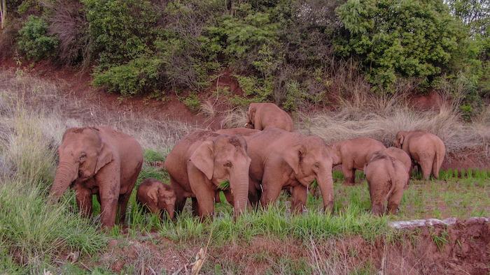 Los elefantes asiáticos están bajo protección estatal de nivel A en China. Yunnan es su principal hábitat.